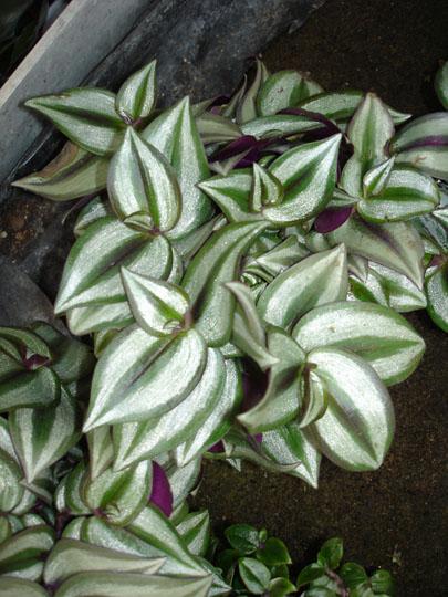 Jard n y planta cultivada plantas variegadas for Arbustos ornamentales de exterior