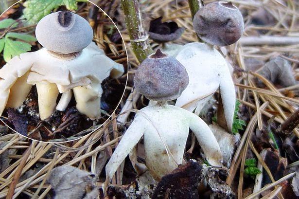 jamur unik bentuk manusia