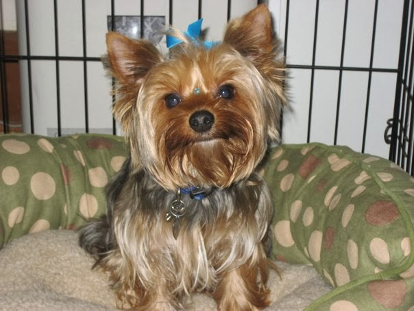 Yorkshire terrier have human hair