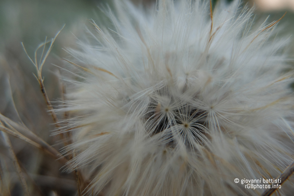 Fotografia di fiore di tarassaco