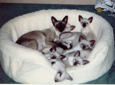 Siamese cats pictures