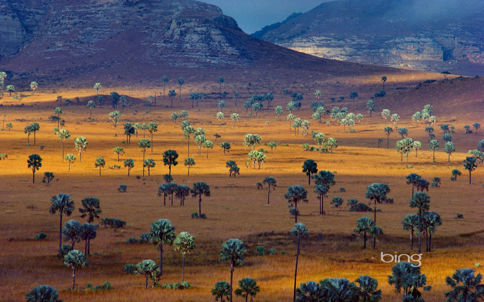 Plam trees growing on a savana, Madagascar (© Frans Lanting/Corbis)