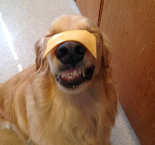 adorable dog pictures, golden retriever dog with cheese on his face