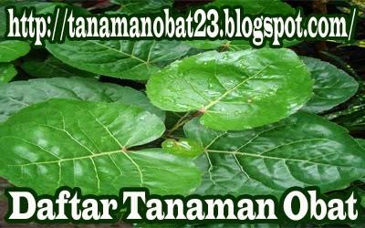 Tanaman Obat Mangkokan  (Nothopanax scutellarium Merr.)