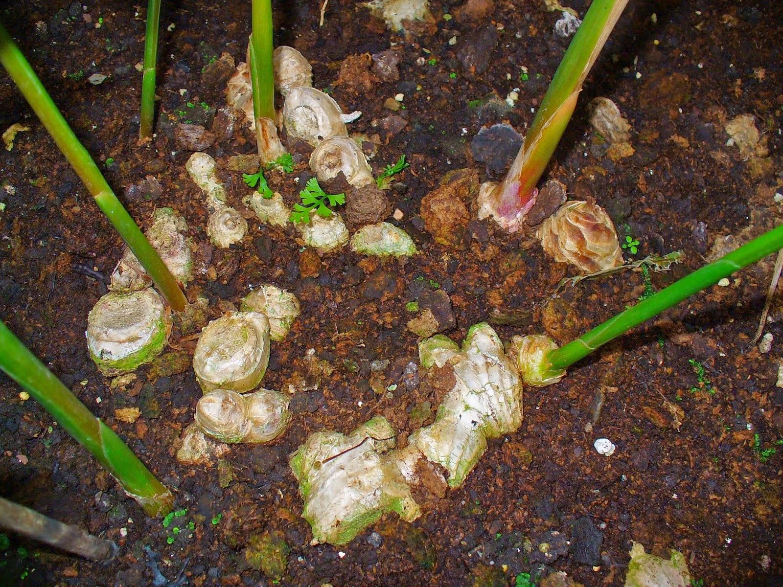 Как вырастить в домашних условиях корень имбиря