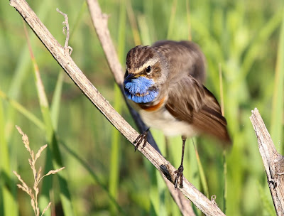 Самец варакушки (Luscinia svecica) Bluethroat