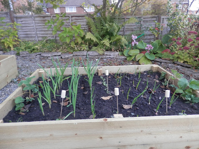 Raised Beds with onion and garlic.  My Garden, October 2015, Autumn Gardening.  secondhandsusie.blogspot.co.uk
