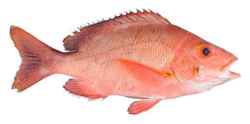 Ikan Merah Barahan