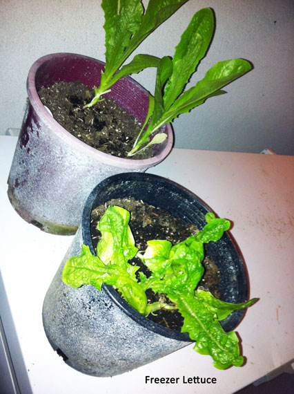 Freezer lettuce