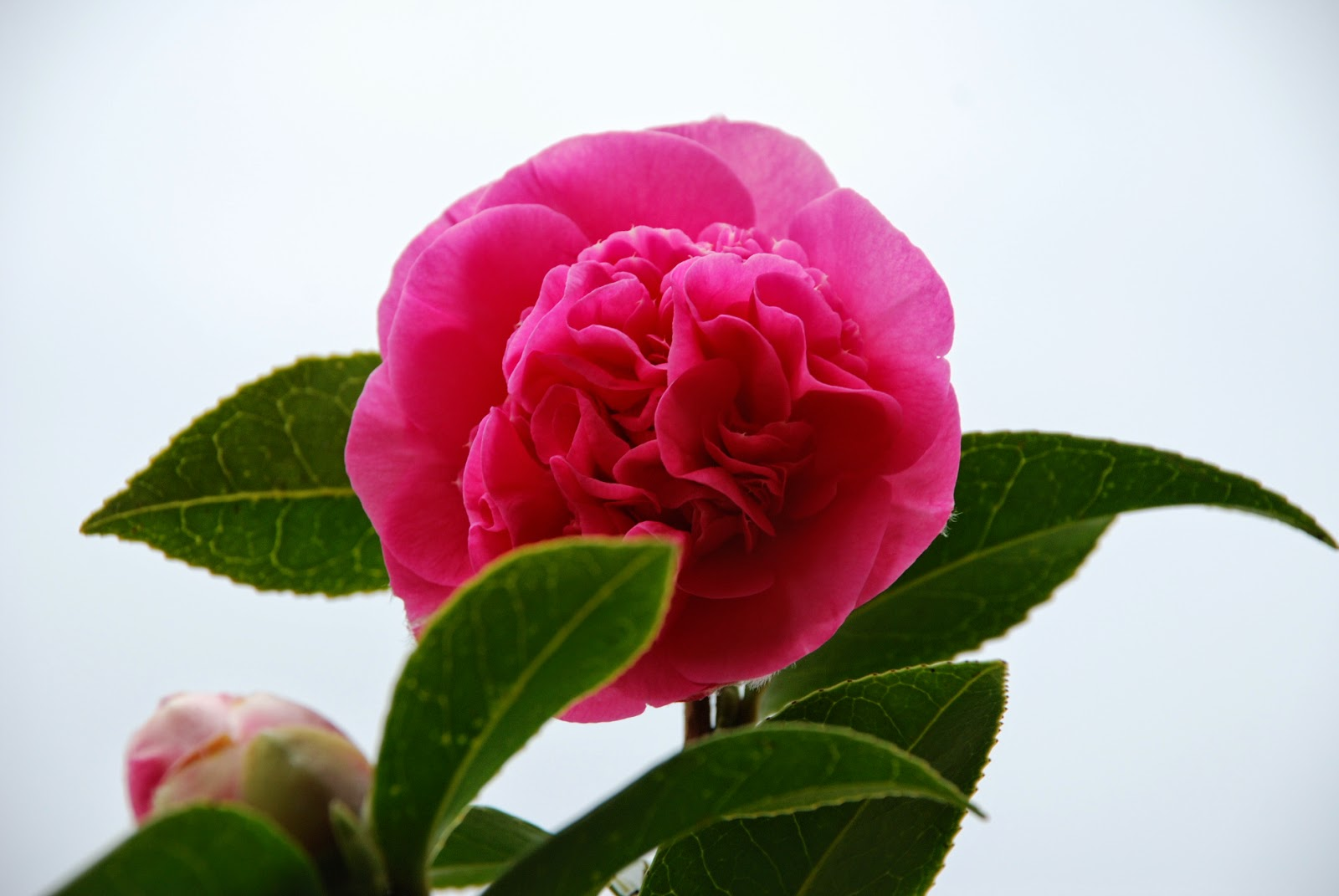 image of a Camelia rose