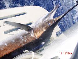 Beautiful Marlin