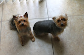 my Yorkies Sandy & Danny