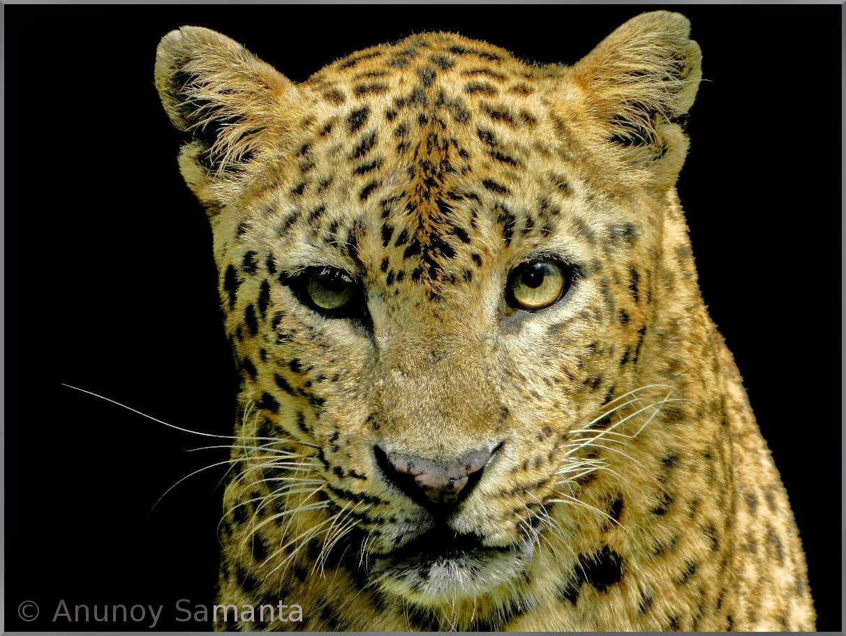 A Leopard from South Khairbari Nature Park