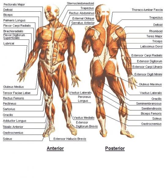 Health Nutrition Fitness Anatomy