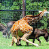 Wonders of Nature: Kind Giraffe assist a sick Donkey