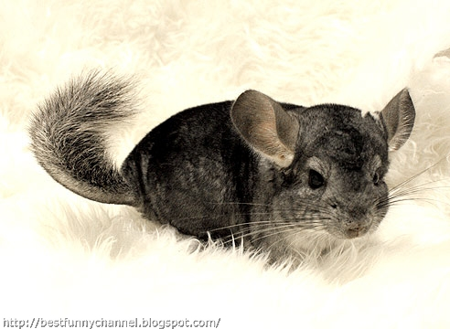 Cute chinchilla 2