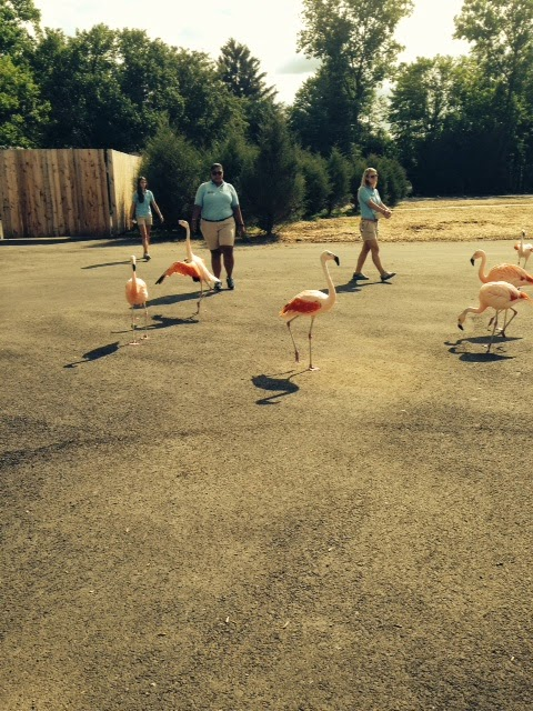 Flamingoes getting fed at the zoo