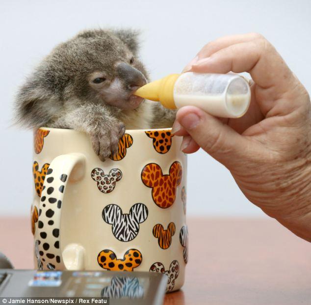 Orphaned baby koala was found on a roadside in Brisbane, Raymond the abandoned baby koala, baby koala pictures, baby koala in a mug being fed