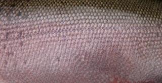 Coho Salmon Skin