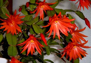 Plantas de casa cacto da pascoa - Como transplantar cactus ...