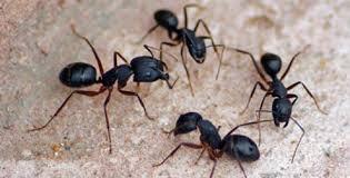 semut hitam di percaya orang philipina dapat mendatangkan panjang umur apabila terdapat di rumah