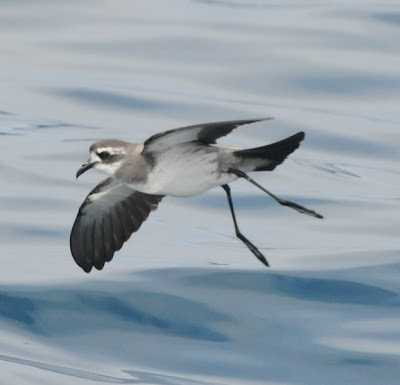 White-faced Storm Petrel (Pelagodroma marina)