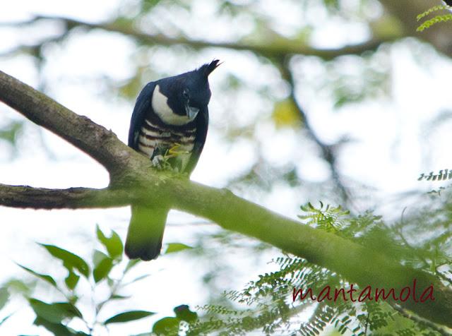 Black Baza, (Aviceda leuphotes)
