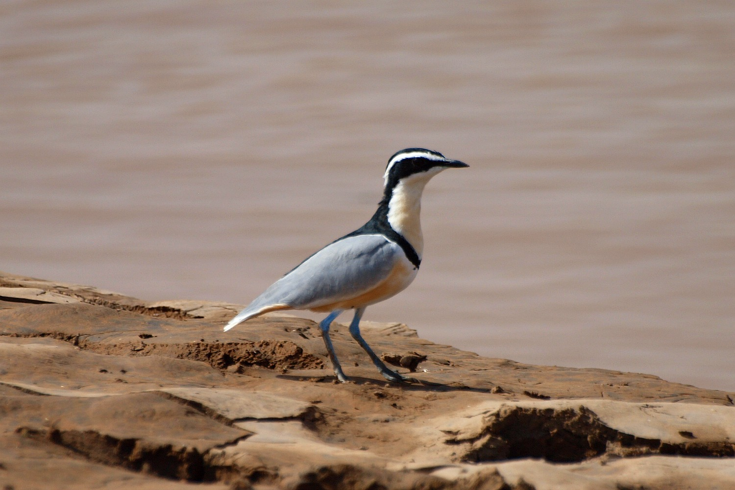 Crocodile and the Plover Bird — Small Science