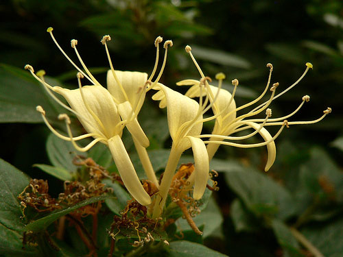 flowers for flower lovers.: Honeysuckle- flowers pictures.