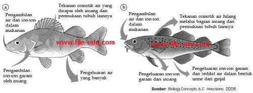 Sistem ekskresi pada (a) ikan air tawar dan (b) ikan air laut