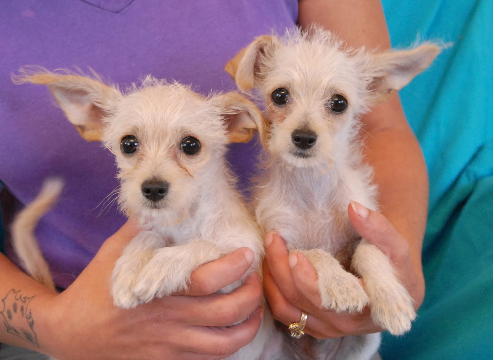 pics for gt chihuahua maltese terrier mix