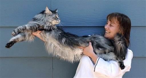 El Gato doméstico más grande del mundo se extiende más de 4 pies
