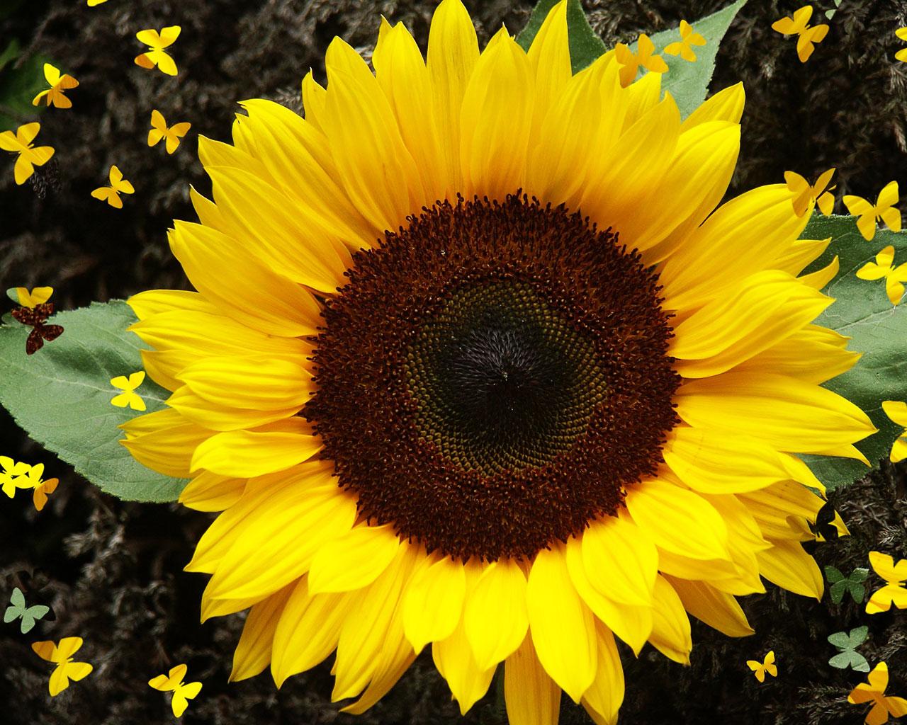 Mengenal Lebih Dekat Dengan Tumbuhan Mengenali Sunflower Bunga Matahari