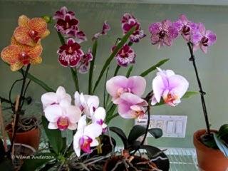 various Phalaenopsis