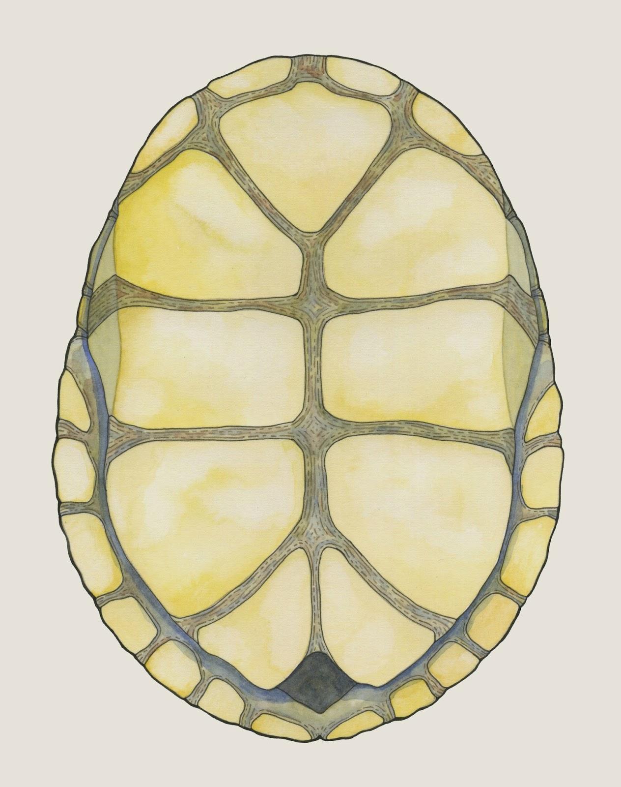 turtle shell back brace - HD1264×1600