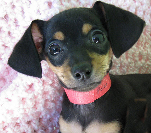 Picture Of A Dachshund: Chihuahua Mixed With Dachshund