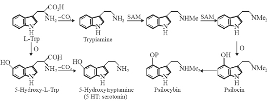 Biosynthesis of Serotonin, Psilocin and Psilocybin