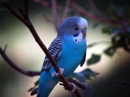 Jual Burung Parkit Daerah Nganjuk