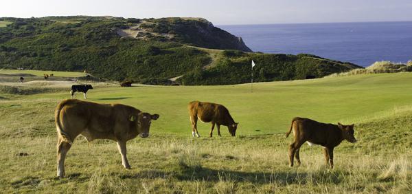Noticias curiosas: Investigan si comer pelotas de golf hace daño a las vacas