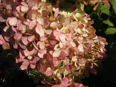 Limelight hydrangea flower in fall