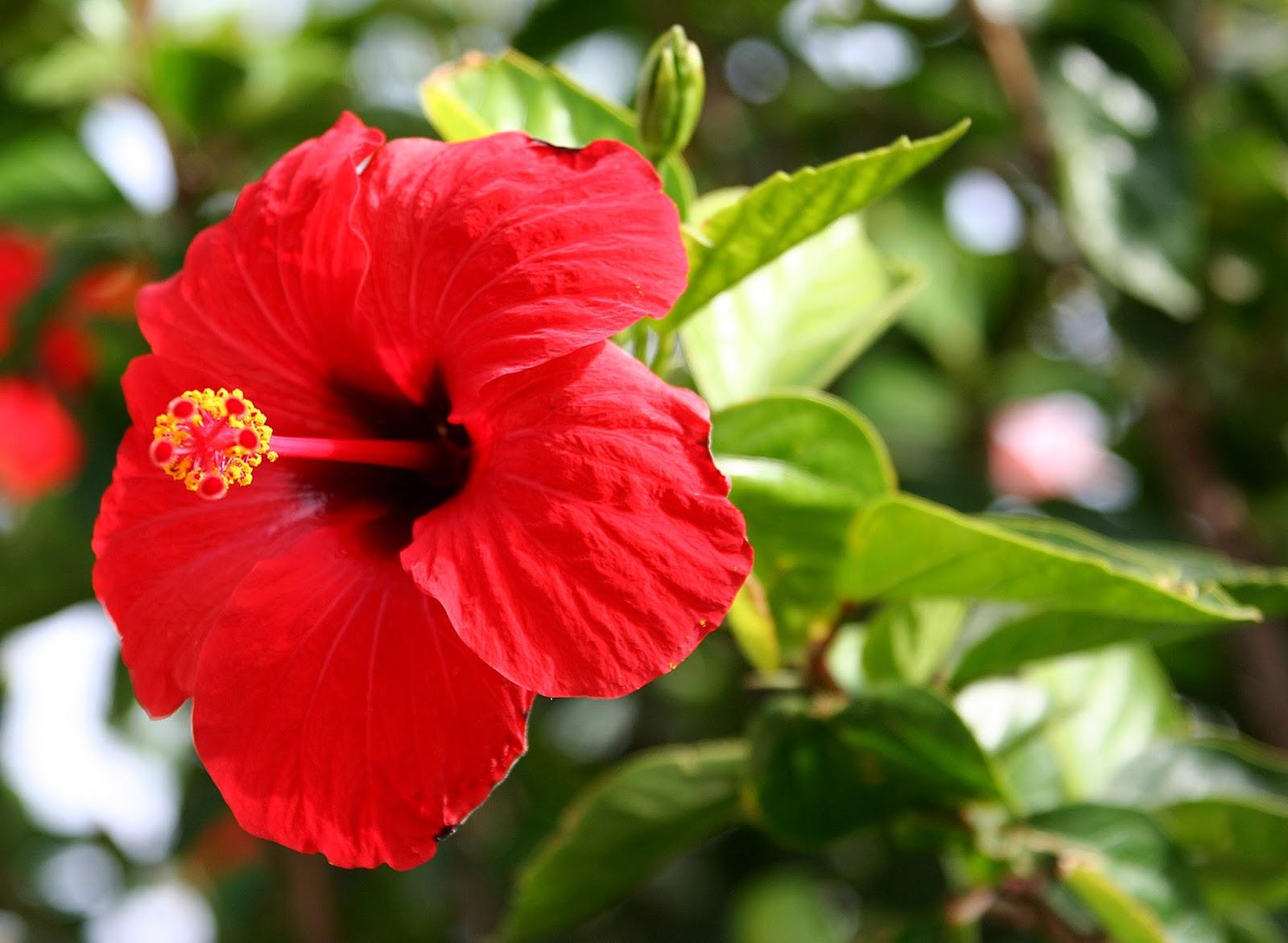 Flores y rboles hibiscus for Vegetacion ornamental