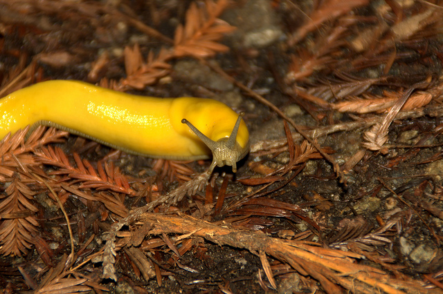 Giant banana slug