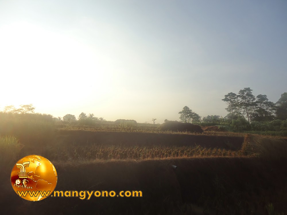 FOTO : Panen padi 1 - Tanaman padi sudah mulai di potong / diarit