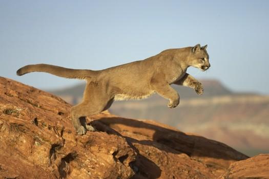 Are pumas roaming Victoria's Yarra Ranges?