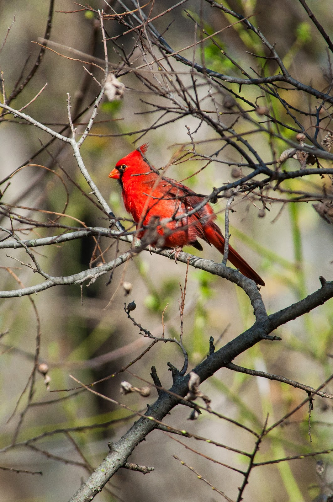 Northern Cardinal, River Legacy Parks