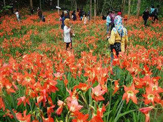 kebun bunga lily gunung kidul