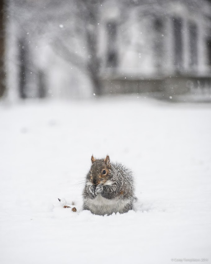 Portland, Maine Squirrel in the Snow at Deering Oaks Winter January 2014 Photo by Corey Templeton