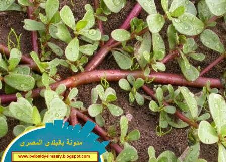 تعرف على فوائد نبات الرجله واهميته العلاجيه والوقائيه