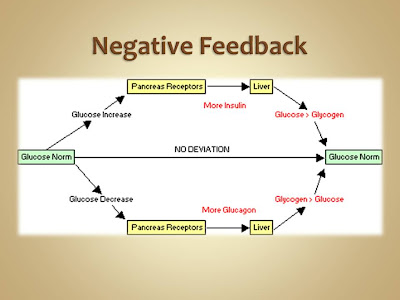 Glucose Negative Feedback Loop