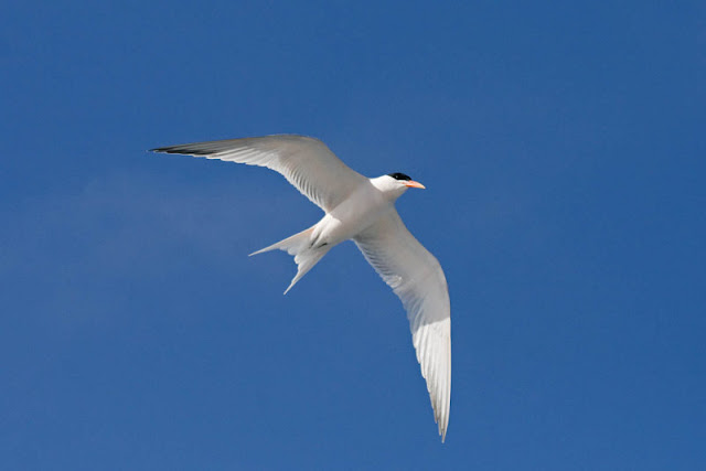 Figure 10: The Elegant Tern shows a forked tail.